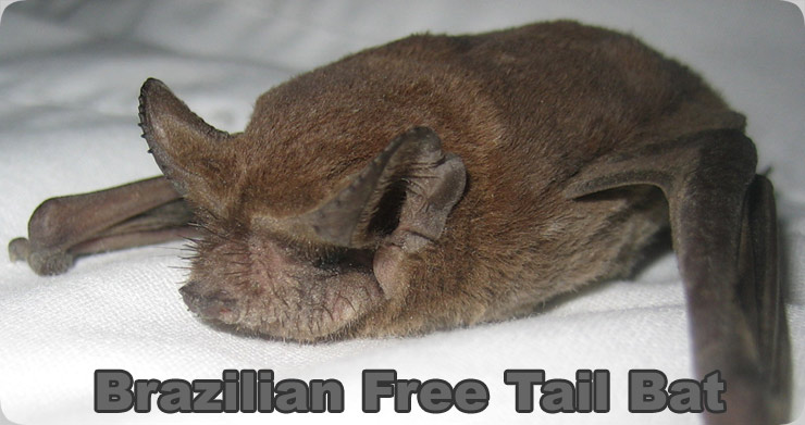Brazilian Free Tail Bat